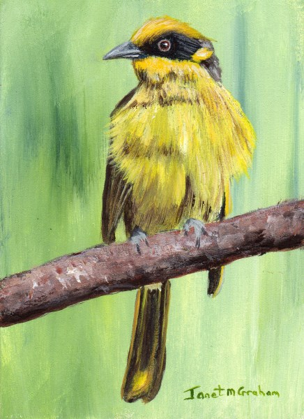 """Yellow Tufted Honeyeater ACEO"" original fine art by Janet Graham"