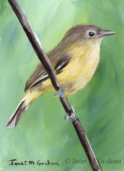 """Bell's Vireo ACEO"" original fine art by Janet Graham"