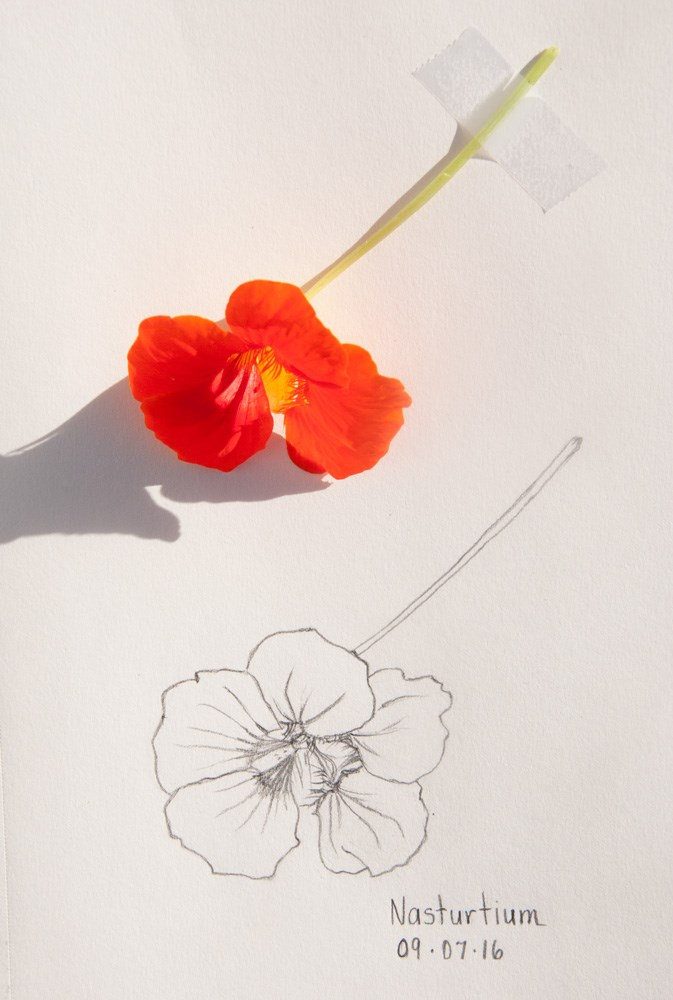 """Daily Sketch: Nasturtium"" original fine art by Debbie Lamey-Macdonald"