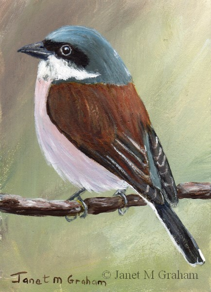 """Red Backed Shrike ACEO"" original fine art by Janet Graham"