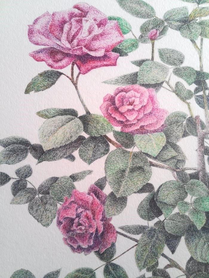 """Pink Roses Pen Drawing"" original fine art by Camille Morgan"