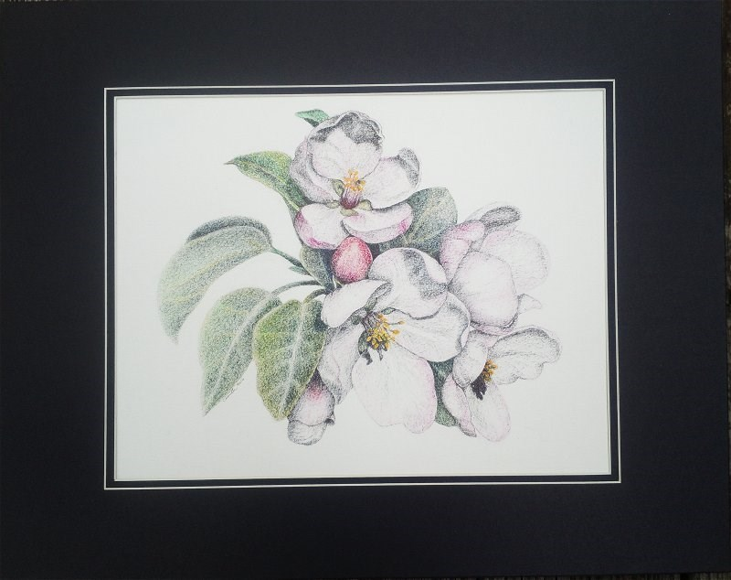 """Apple Blossoms"" original fine art by Camille Morgan"