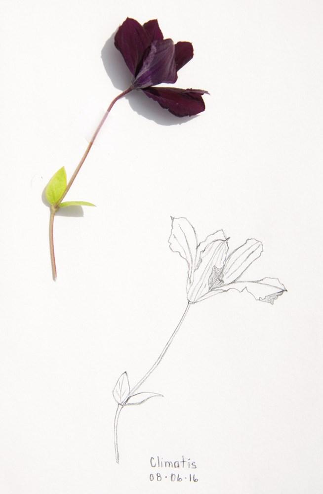 """Daily Sketch: Clematis"" original fine art by Debbie Lamey-Macdonald"