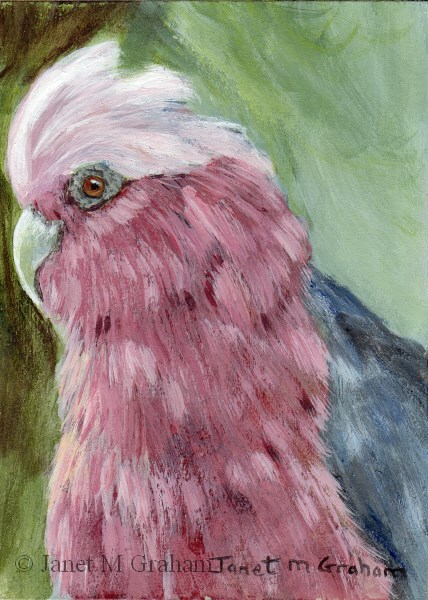 """Galah ACEO"" original fine art by Janet Graham"