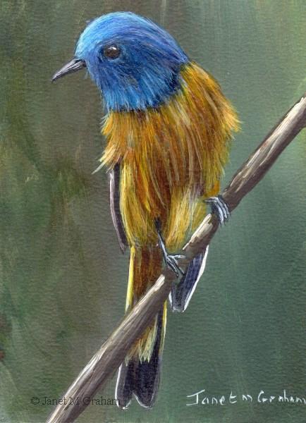"""Blue Fronted Redstart ACEO"" original fine art by Janet Graham"