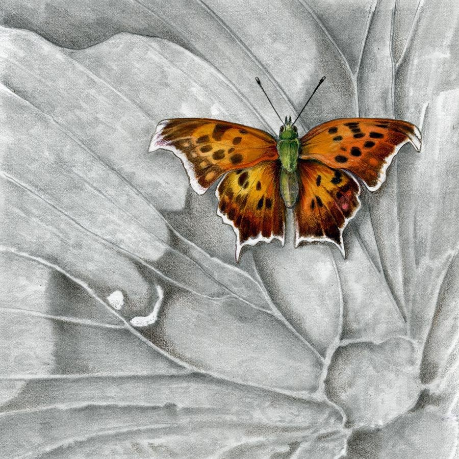"""Nature Fine Art Painting, Insect QUESTION MARK BUTTERFLY The Art of Nature, Fine Art by Mindy Ligh"" original fine art by Mindy Lighthipe"