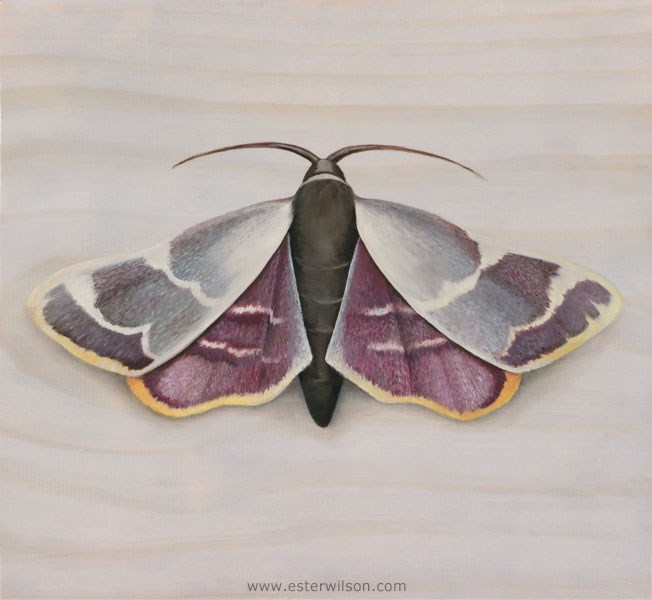 """Pink Moth"" original fine art by Ester Wilson"