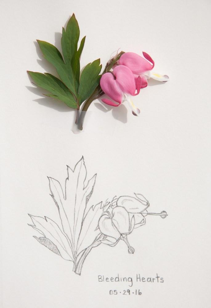 """Daily Sketch: Bleeding Hearts"" original fine art by Debbie Lamey-Macdonald"