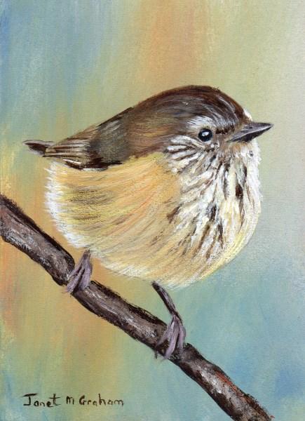 """Striated Thornbill ACEO"" original fine art by Janet Graham"