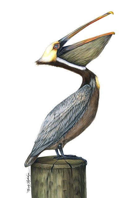 """Wildlife Art, Bird, Nature Pelican The Art of Nature, Fine Art  by Mindy Lighthipe"" original fine art by Mindy Lighthipe"