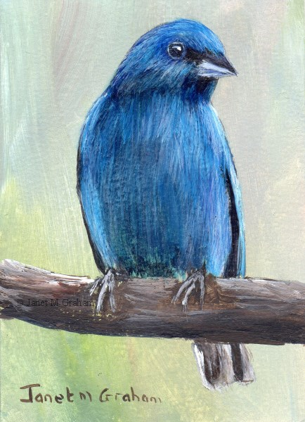 """Indigo Bunting ACEO"" original fine art by Janet Graham"