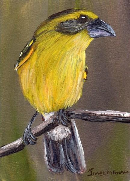 """Yellow Grosbeak ACEO"" original fine art by Janet Graham"