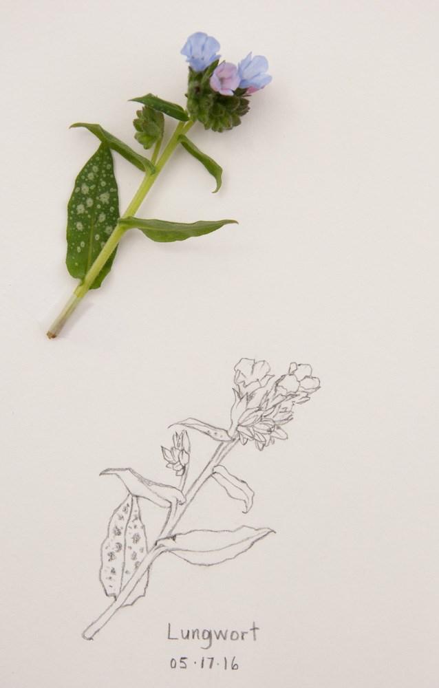 """Makelight Course & Lungwort Sketch"" original fine art by Debbie Lamey-Macdonald"