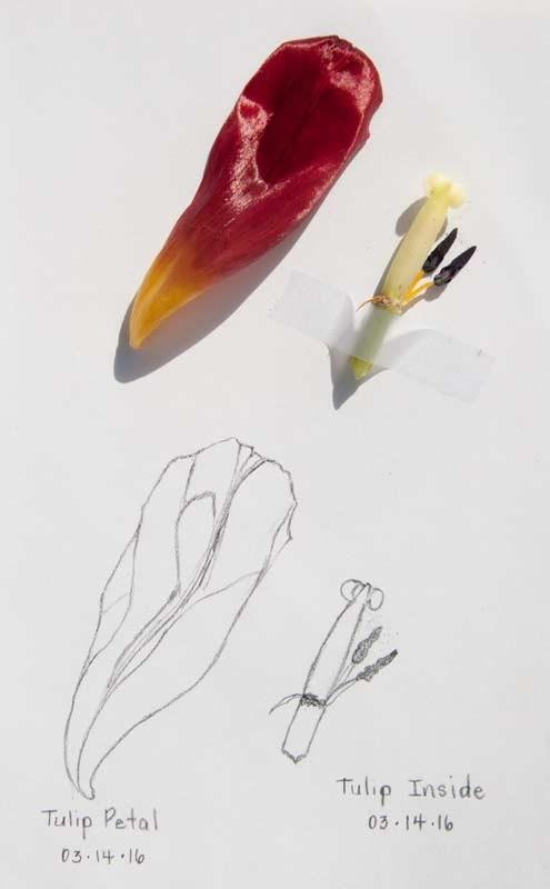 """Daily Sketch: Tulip Petal/Insides"" original fine art by Debbie Lamey-Macdonald"