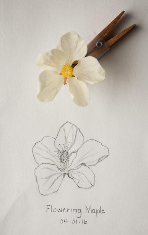 """Daily Sketch: Flowering Maple"" original fine art by Debbie Lamey-Macdonald"