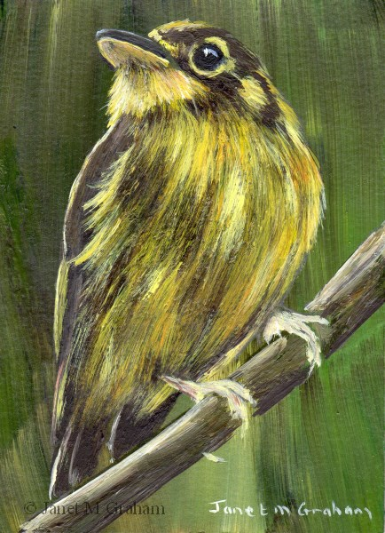 """White Throated Spadebill ACEO"" original fine art by Janet Graham"