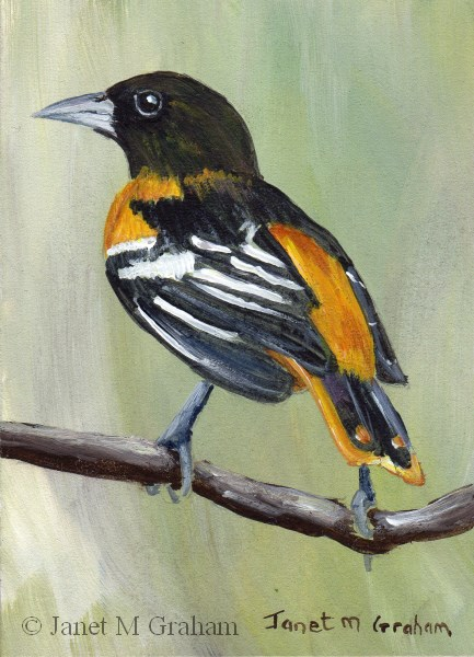 """Baltimore Oriole ACEO"" original fine art by Janet Graham"
