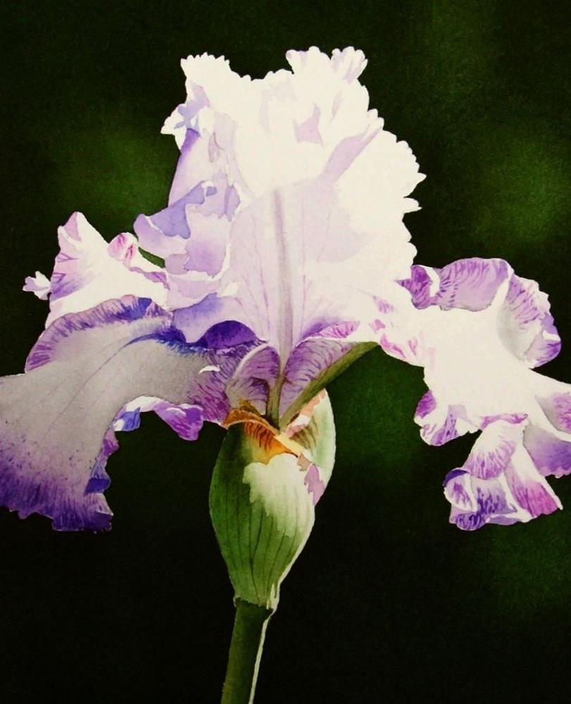 """Lavender & White Iris"" original fine art by Jacqueline Gnott, TWSA, WHS"