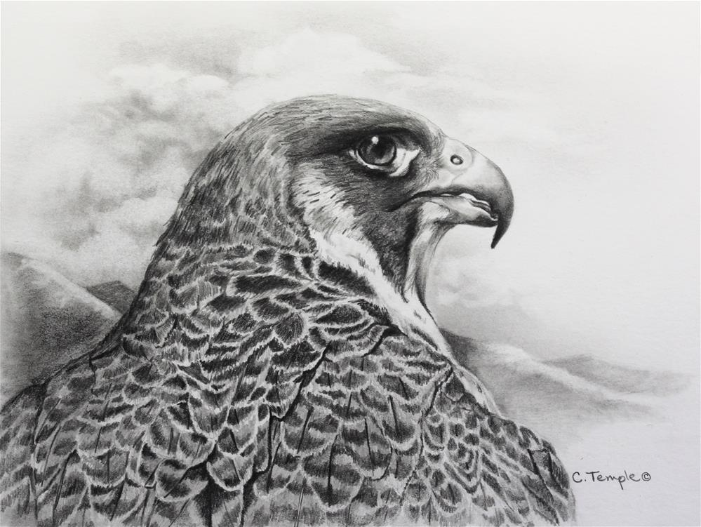 """Peregrine Study"" original fine art by Catherine Temple"