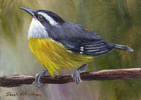 """Bananaquit ACEO"" original fine art by Janet Graham"