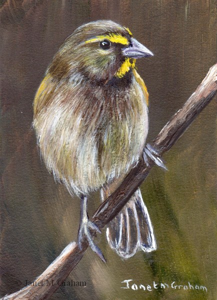 """Yellow Faced Grassquit ACEO"" original fine art by Janet Graham"