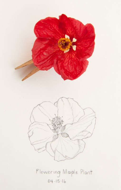 """Daily Sketch: Flowering Maple Plant"" original fine art by Debbie Lamey-Macdonald"
