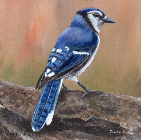 """Blue Jay"" original fine art by Janet Graham"