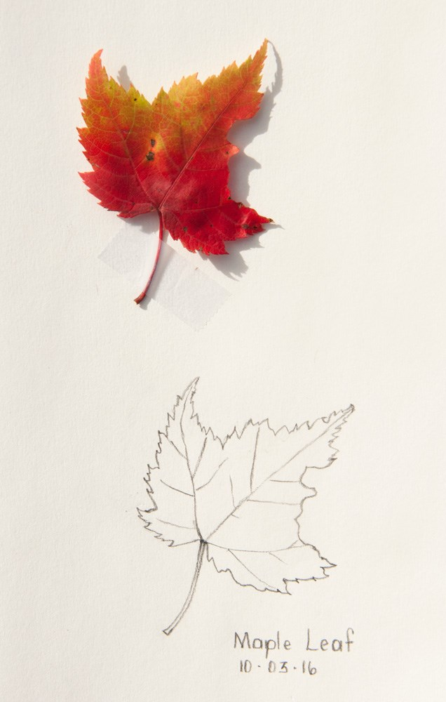 """Maple Leaf with bite!"" original fine art by Debbie Lamey-Macdonald"