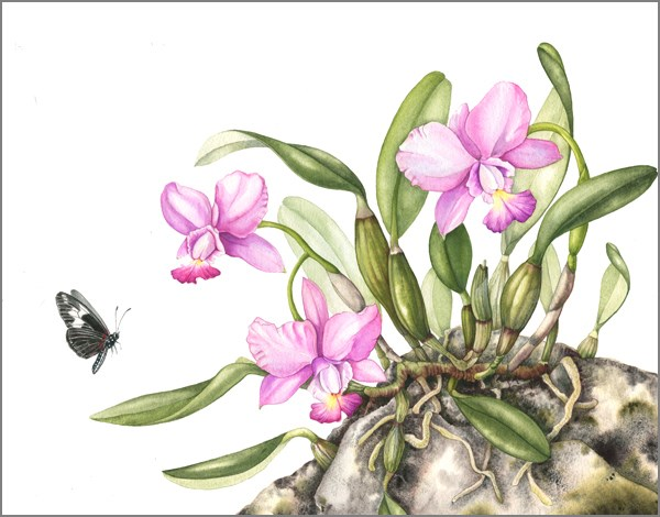 """Botanical Fine Art Painting, Nature,Butterfly ROCK ORCHIDS The Art of Nature, Fine Art by Mindy Li"" original fine art by Mindy Lighthipe"