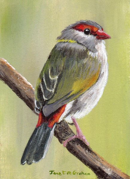 """Red Browed Finch ACEO"" original fine art by Janet Graham"