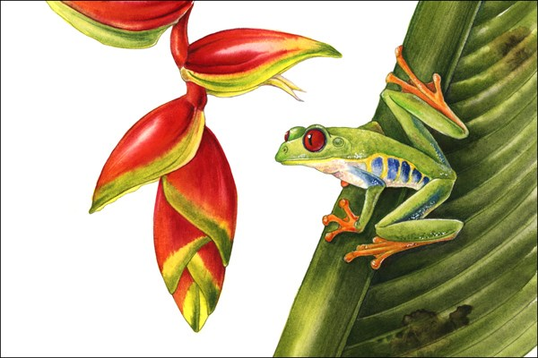 """Wildlife Art, Nature , Frog RED EYED TREE FROG The Art of Nature, Fine Art  by Mindy Lighthipe"" original fine art by Mindy Lighthipe"