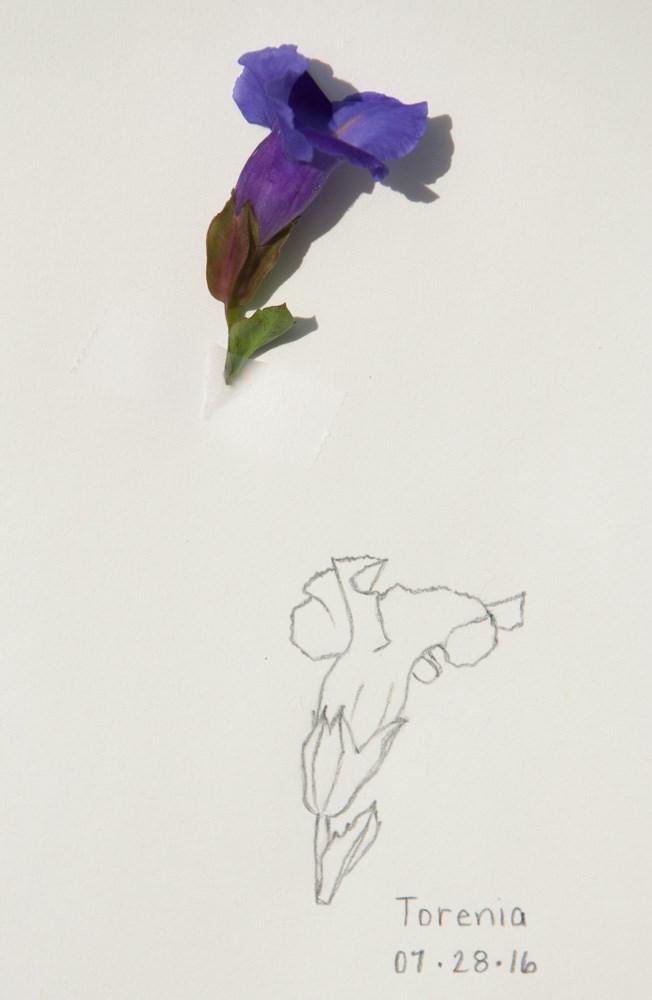 """""""Torenia: Daily Sketch"""" original fine art by Debbie Lamey-Macdonald"""