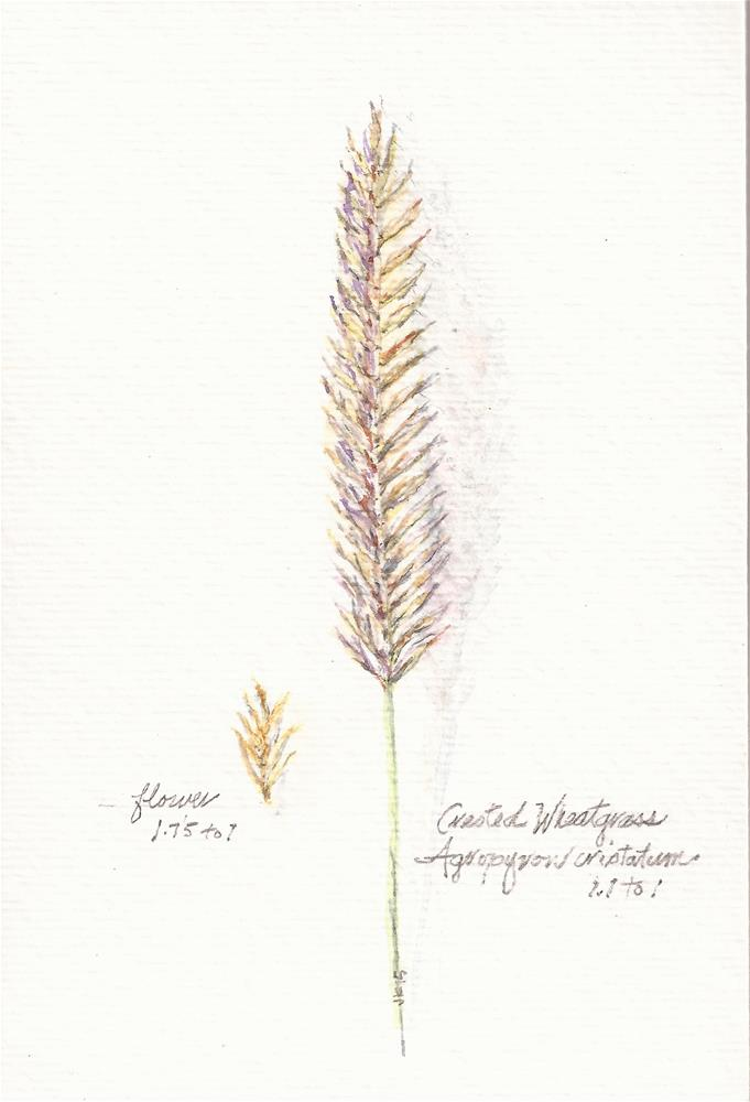 """Crested Wheatgrass - Botanical"" original fine art by Jean Krueger"