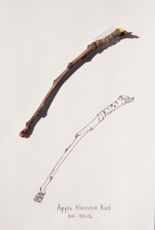 """Daily Sketch: Apple Blossom Bud"" original fine art by Debbie Lamey-Macdonald"