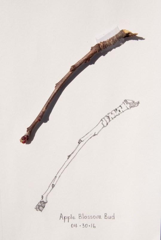 """Daily Sketch: Apple Blossom Bud"" original fine art by Debbie Lamey-Macdonald"