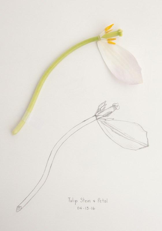 """Daily Sketch: Tulip Stem & Petal"" original fine art by Debbie Lamey-Macdonald"