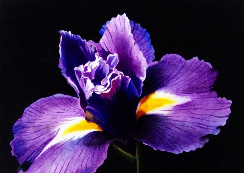 """Purple Iris on Black - Watercolor"" original fine art by Jacqueline Gnott, whs"