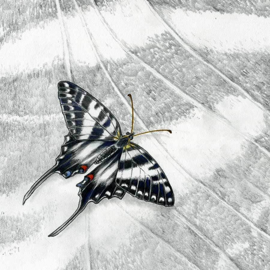 """Nature Fine Art Painting, Insect ZEBRA SWALLOWTAIL BUTTERFLY The Art of Nature, Fine Art by Mindy"" original fine art by Mindy Lighthipe"