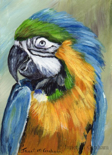 """Macaw ACEO"" original fine art by Janet Graham"