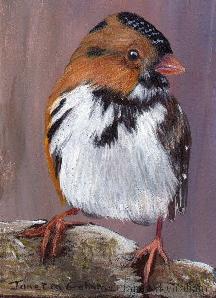 """Harris's Sparrow ACEO"" original fine art by Janet Graham"