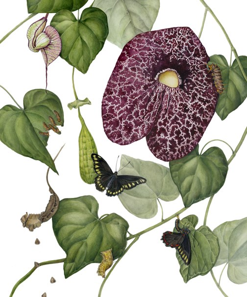 """Botanical Fine Art Painting, Butterfly,Nature POLYDAMAS BUTTERFLY & ARISTOLOCHIA GIGANTEA The Art"" original fine art by Mindy Lighthipe"