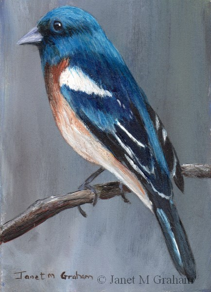 """Lazuli Bunting ACEO"" original fine art by Janet Graham"