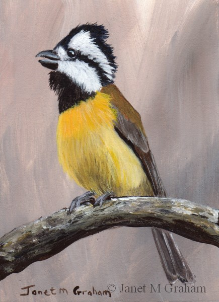 """Crested Shriketit ACEO"" original fine art by Janet Graham"