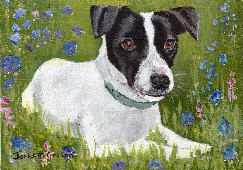 """Jack Russell ACEO"" original fine art by Janet Graham"