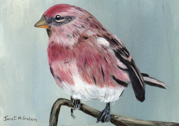 """Redpoll ACEO"" original fine art by Janet Graham"