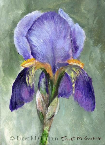 """Iris ACEO"" original fine art by Janet Graham"