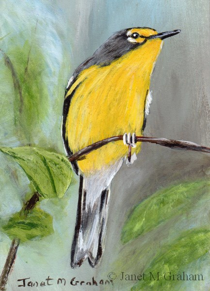 """Adelaide Warbler ACEO"" original fine art by Janet Graham"