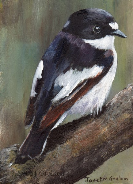 """Piep Flycatcher ACEO"" original fine art by Janet Graham"