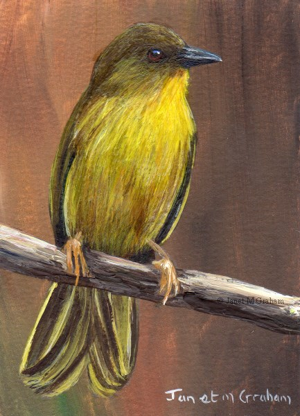 """Olive Green Tanager ACEO"" original fine art by Janet Graham"