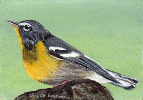 """Northern Parula ACEO"" original fine art by Janet Graham"